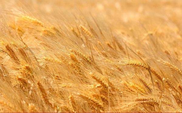 Az agrárexportunkban a gabona kivitele a meghatározó