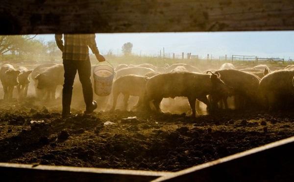 Közel háromszoros támogatás a sertéságazatnak