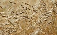 Csökkenthetik a gabonafélék áfáját?
