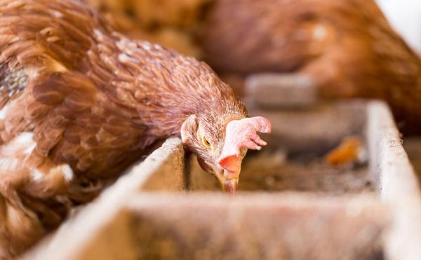 2019-ben is lesz baromfi állatjóléti támogatási program