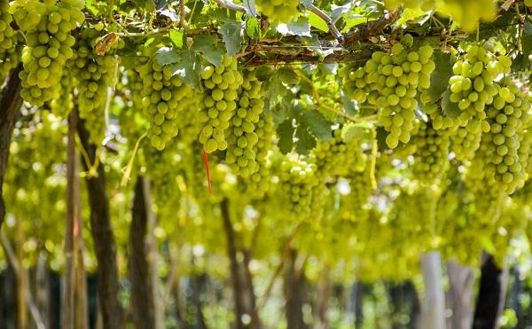 2,5 milliárd forintnyi segítség a szőlőtermelőknek