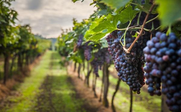 1,8 milliárd forintos rendkívüli támogatás a borászatok számára