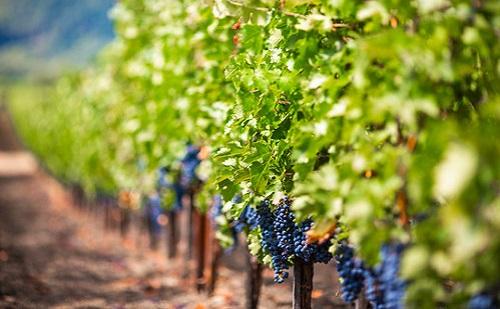 12 milliárd forint támogatásból újulhatnak meg a szőlőültetvények