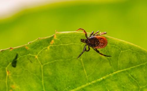 Hatékonyabb a Lyme-kórral szemben egy új magyar fejlesztés